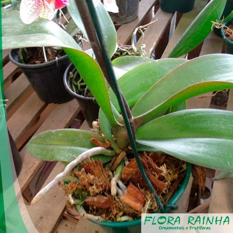 Comprar Muda de Orquídea Aeroporto - Muda de Alpínia