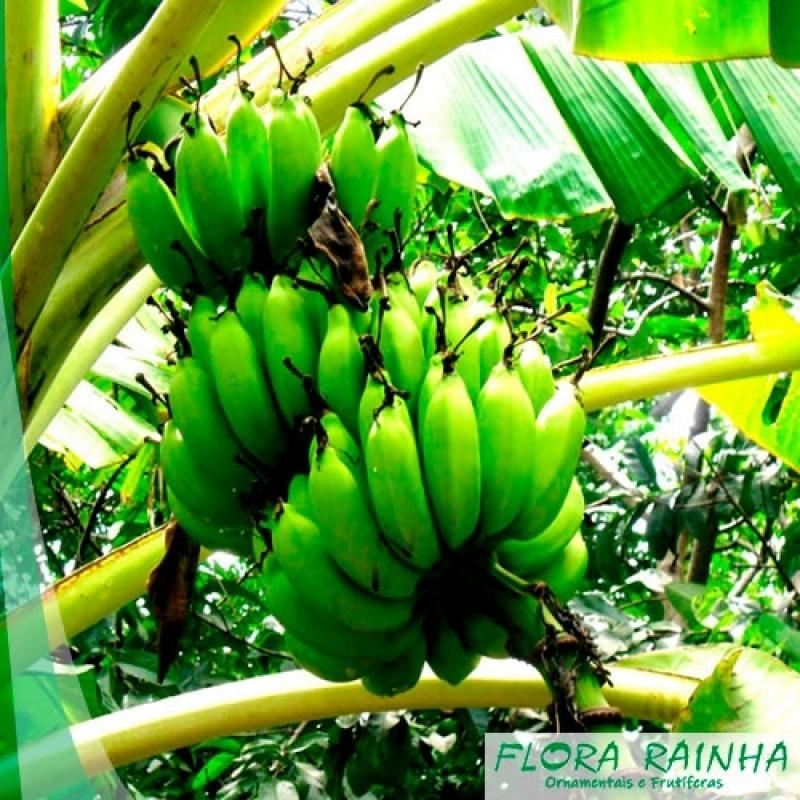 Comprar Mudas de Banana Aricanduva - Mudas de Seriguela