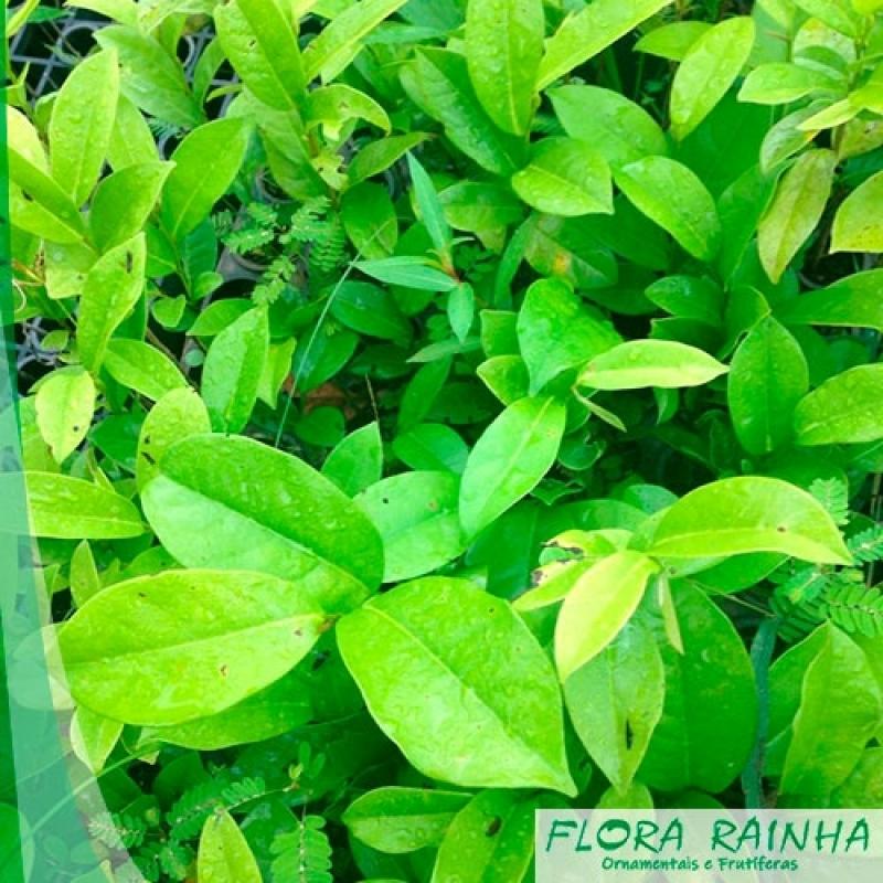 Comprar Mudas de Graviola Aricanduva - Mudas de Acerola