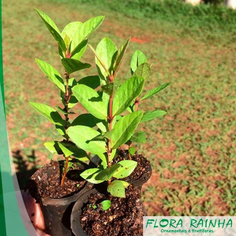 Muda árvore Frutífera Guaianazes - Muda Frutífera de Jabuticaba Sabará