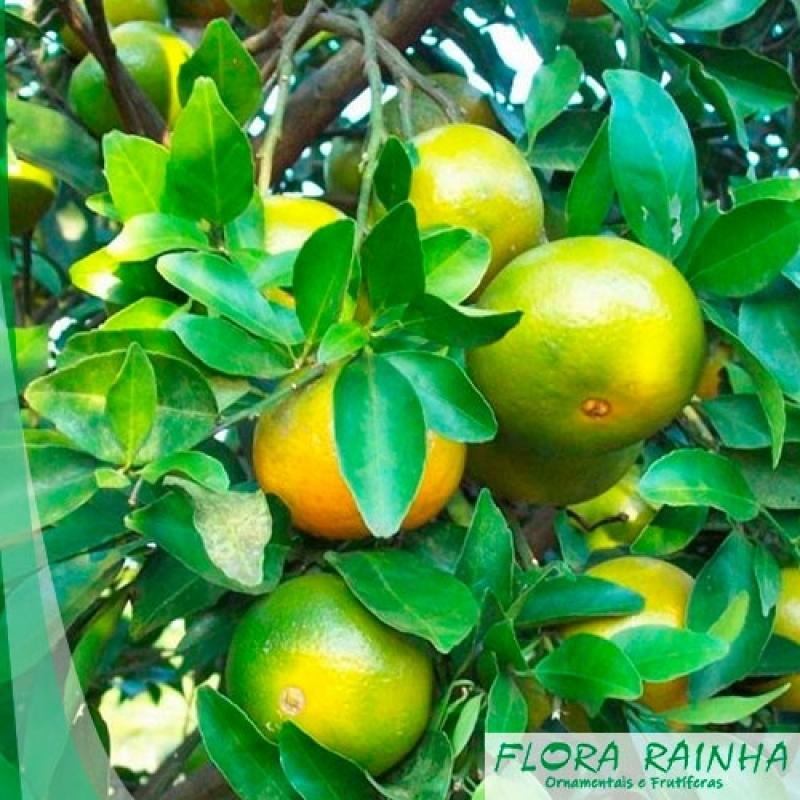 Muda de Laranja Lima Campo Limpo - Muda de Limão Siciliano