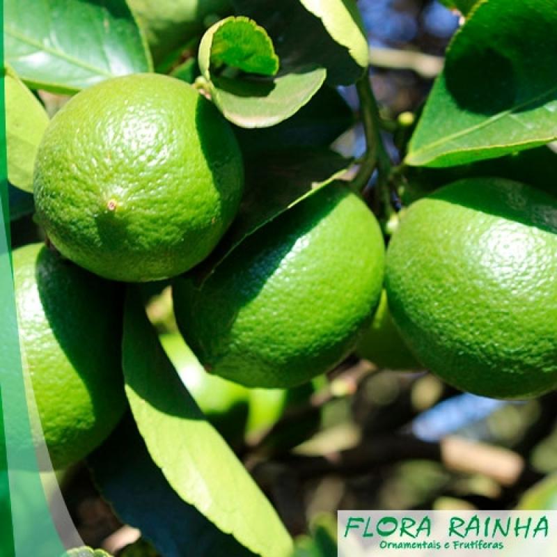 Muda de Limão Taiti Biritiba Mirim - Muda de Laranja Lima