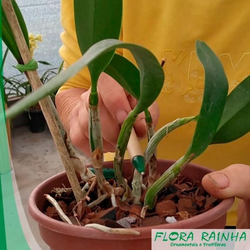 Muda de Orquídea Parque Santa Madalena - Muda de Hortência