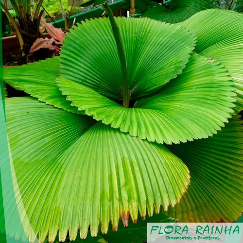 Muda de Palmeira Leque Chora Menino - Muda de Palmeira Leque