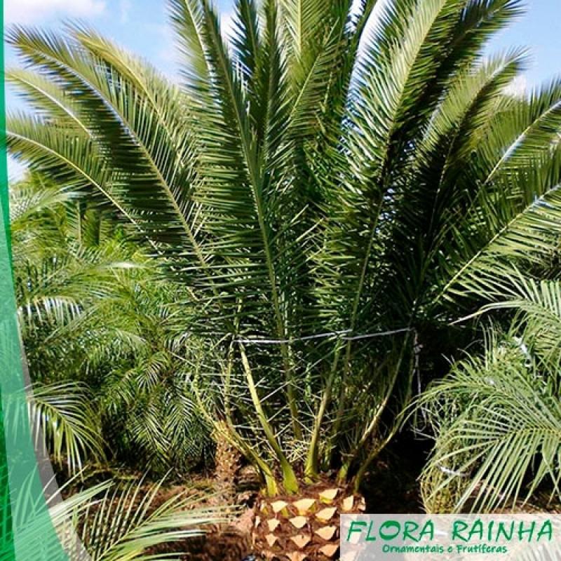 Muda de Palmeira Tamareira Vila Suzana - Muda de Palmeira Washingtônia