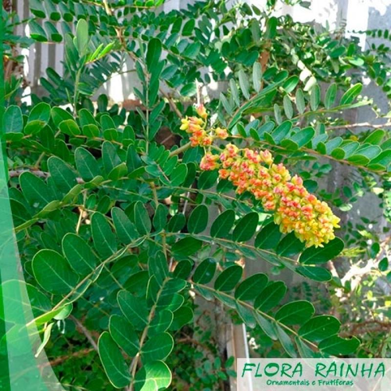 Muda de Pau Brasil Vila Formosa - Muda de Paineira