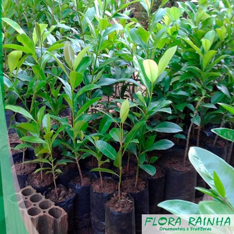 Muda de Sapoti Vila Formosa - Muda de Pitaya