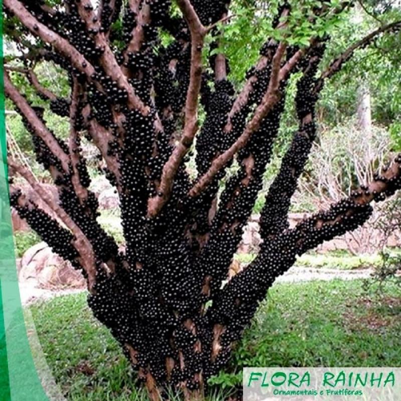 Muda Frutífera de Jabuticaba Sabará Chora Menino - Muda de Jabuticaba