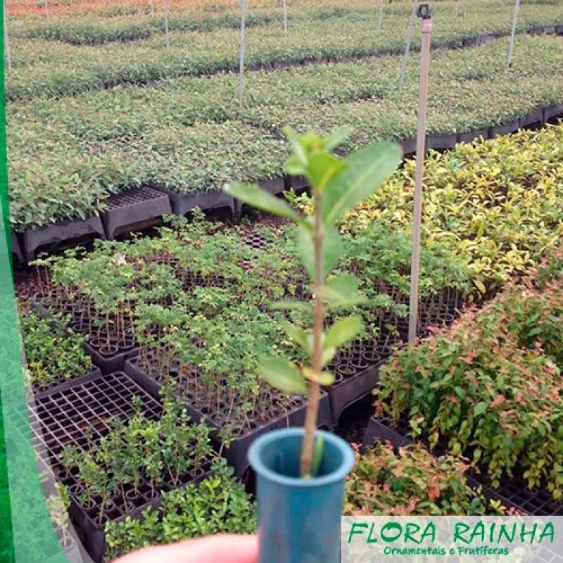 Muda Frutífera Imirim - Muda Frutífera de Jabuticaba Sabará