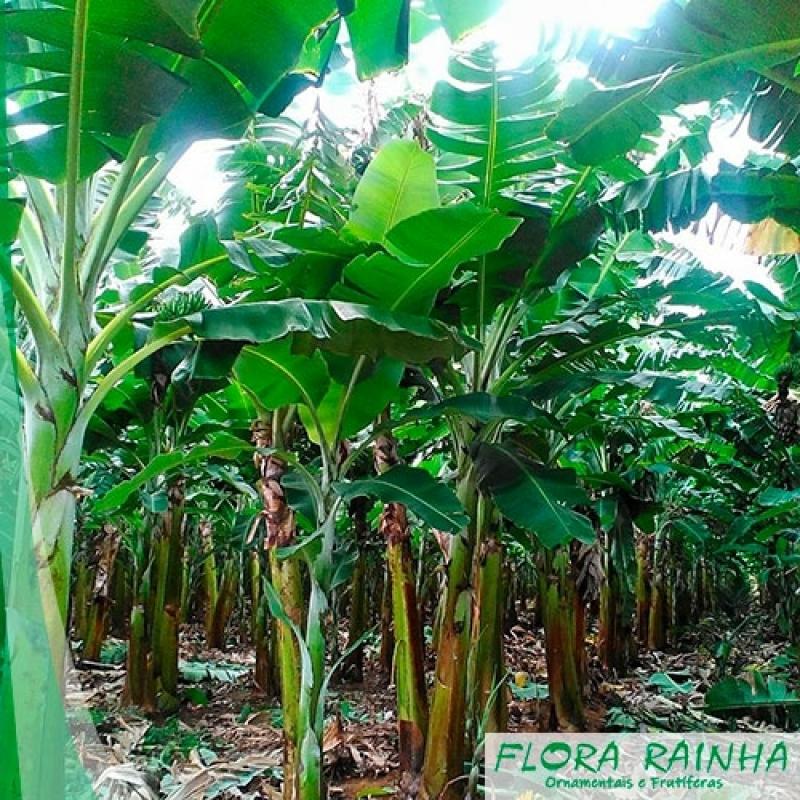 Mudas de Banana Ilha Comprida - Mudas de Abacate