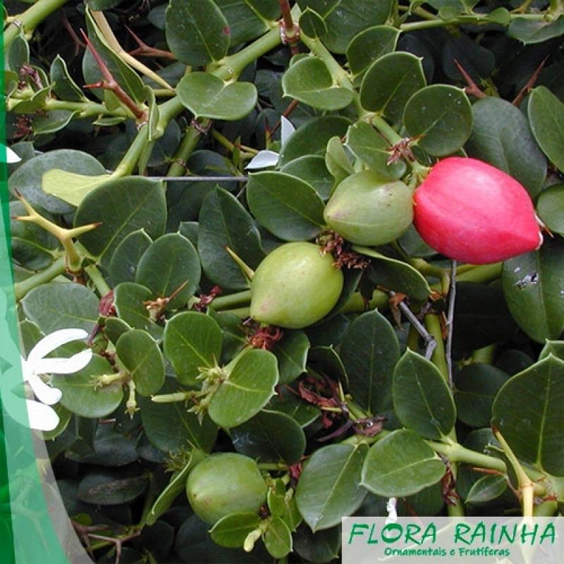 Onde Comprar Muda Frutífera de Ameixa Ilha Comprida - Muda Frutífera de Jabuticaba Sabará