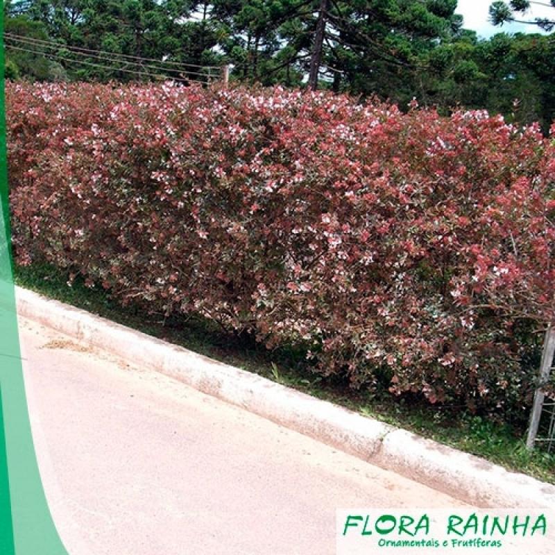 Onde Vende Muda de Abélia Parque Ibirapuera - Muda de Cedrinho