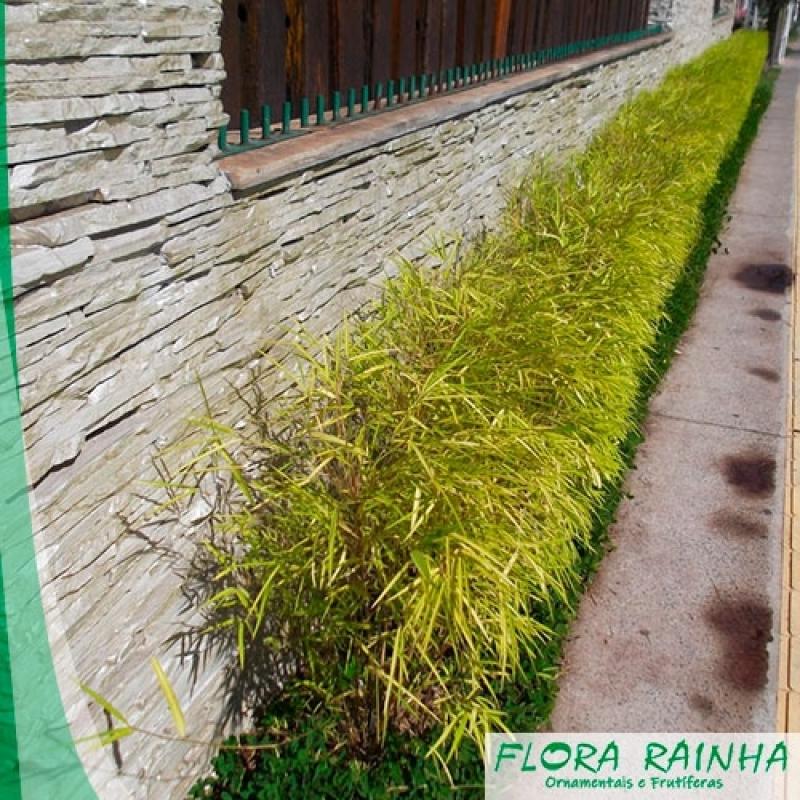 Onde Vende Muda de Bambusa Parque Colonial - Muda de Tumbérgia Arbustiva