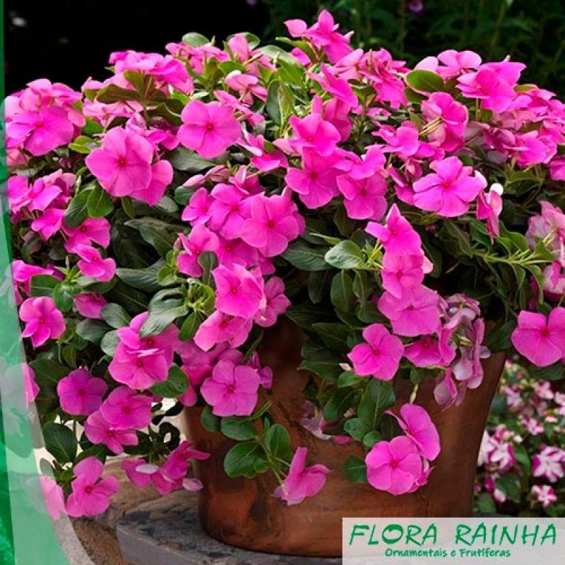 Onde Vende Muda de Impatiens Campo Limpo - Muda de Mini Rosa