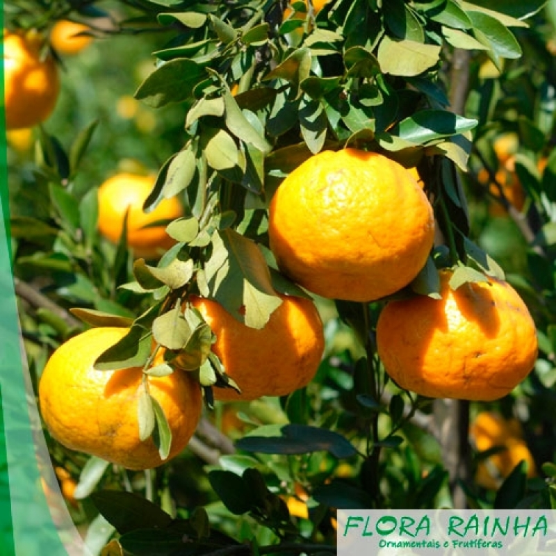 Onde Vende Muda de Laranja Bahia Pompéia - Muda de Limão Siciliano