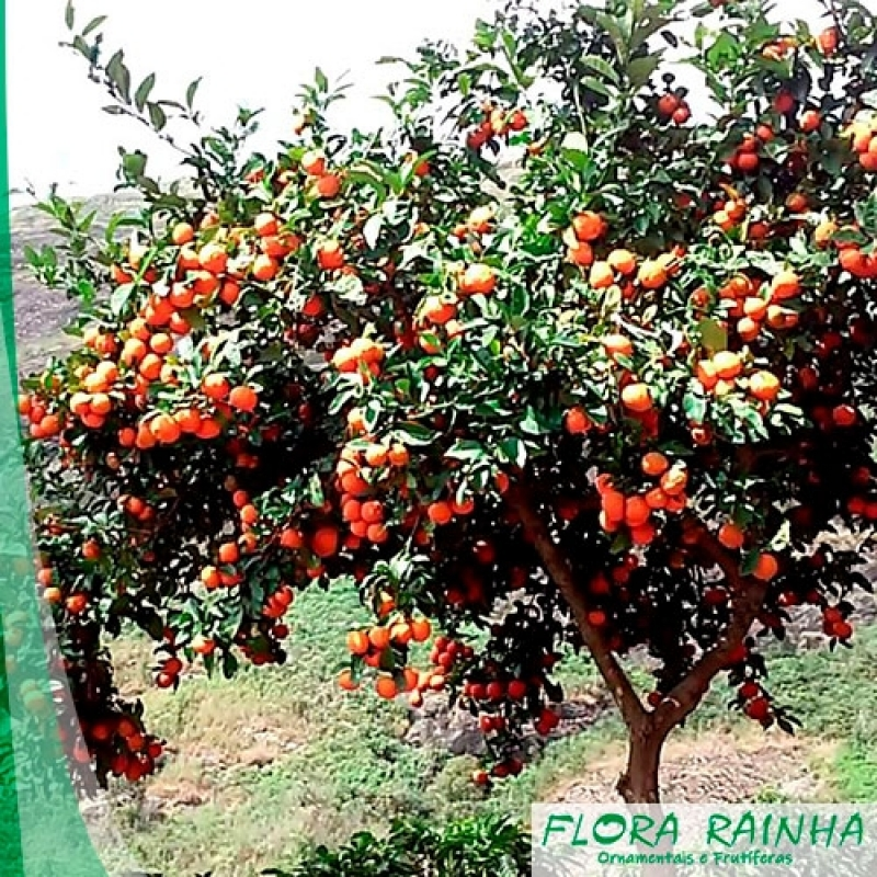 Onde Vende Muda de Limão Rosa Saúde - Muda de Limão Siciliano