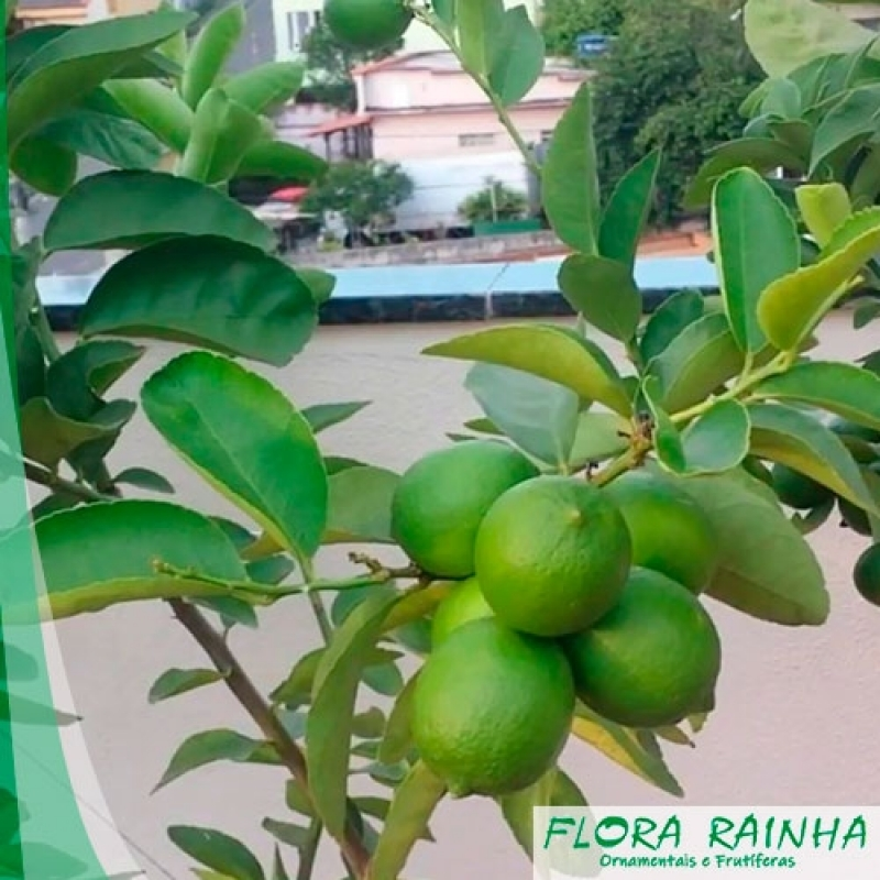 Onde Vende Muda de Limão Taiti Cidade Líder - Muda de Mexerica do Rio