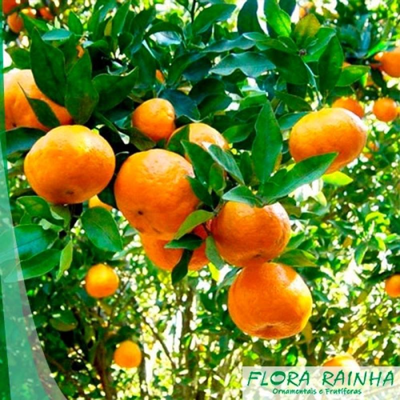 Onde Vende Muda de Mexerica do Rio Santana de Parnaíba - Muda de Limão Siciliano