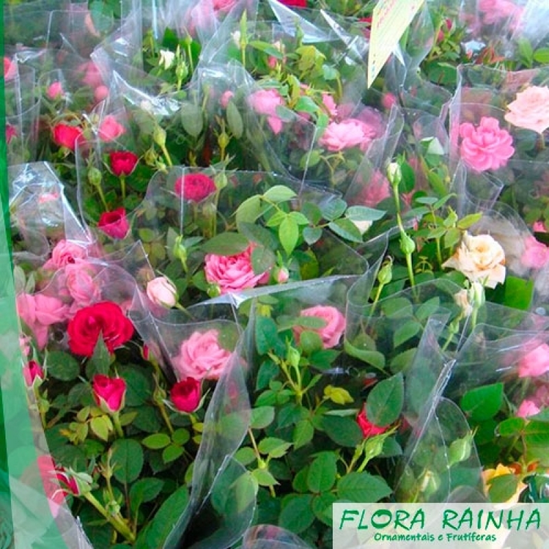 Onde Vende Muda de Mini Rosa Piqueri - Muda de Mini Azaléia