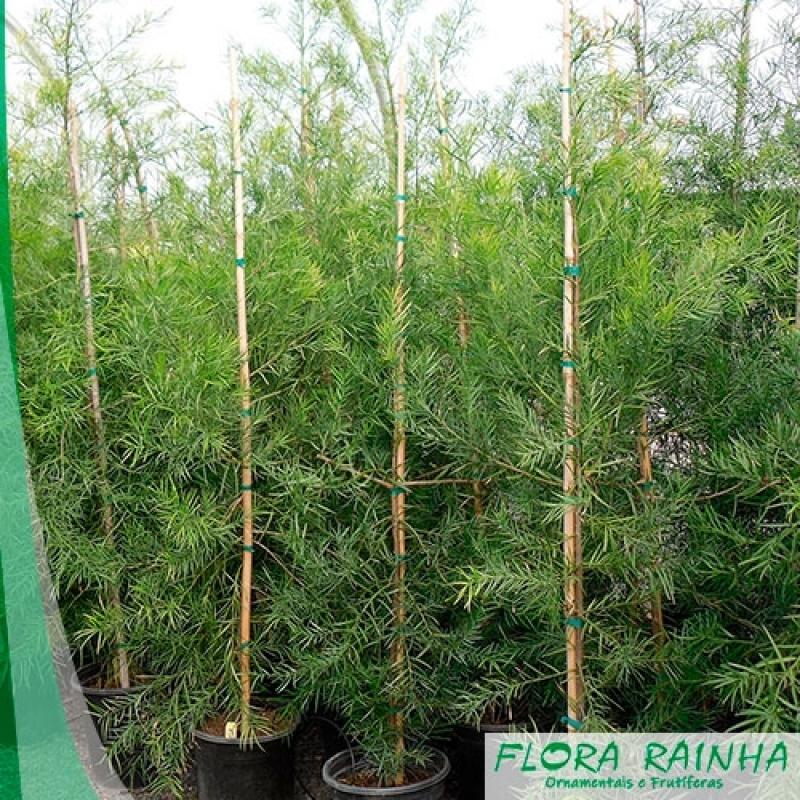Onde Vende Muda de Podocarpos Bixiga - Muda de Tumbérgia Arbustiva