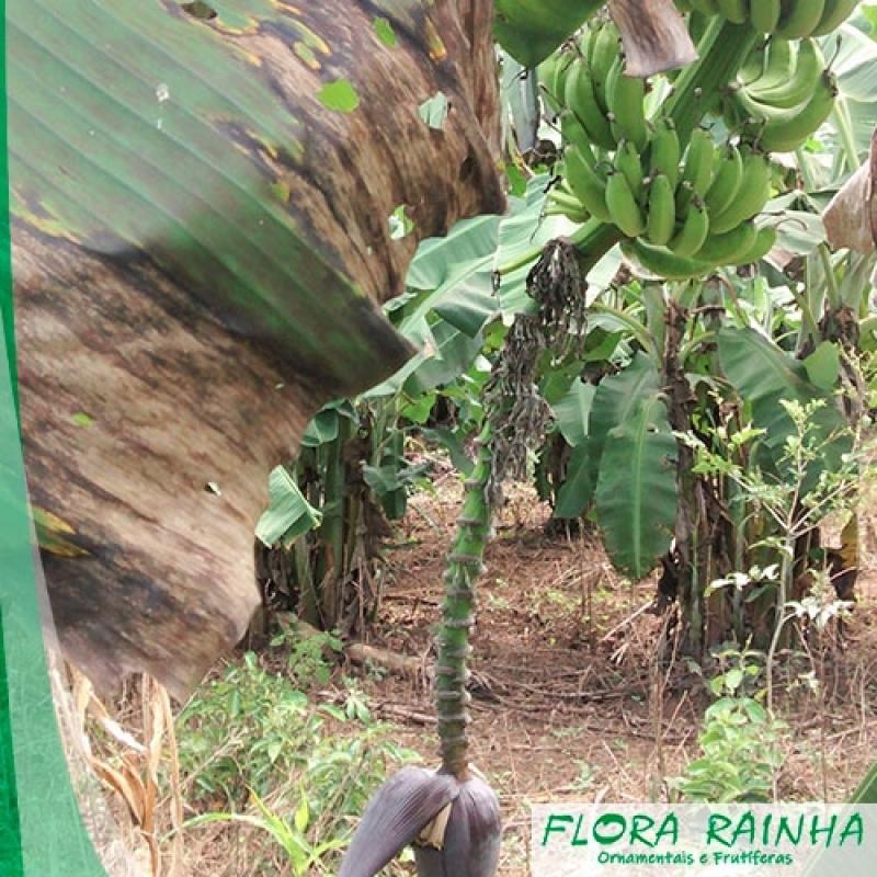 Preço de Mudas de Banana Barueri - Mudas de Abacate