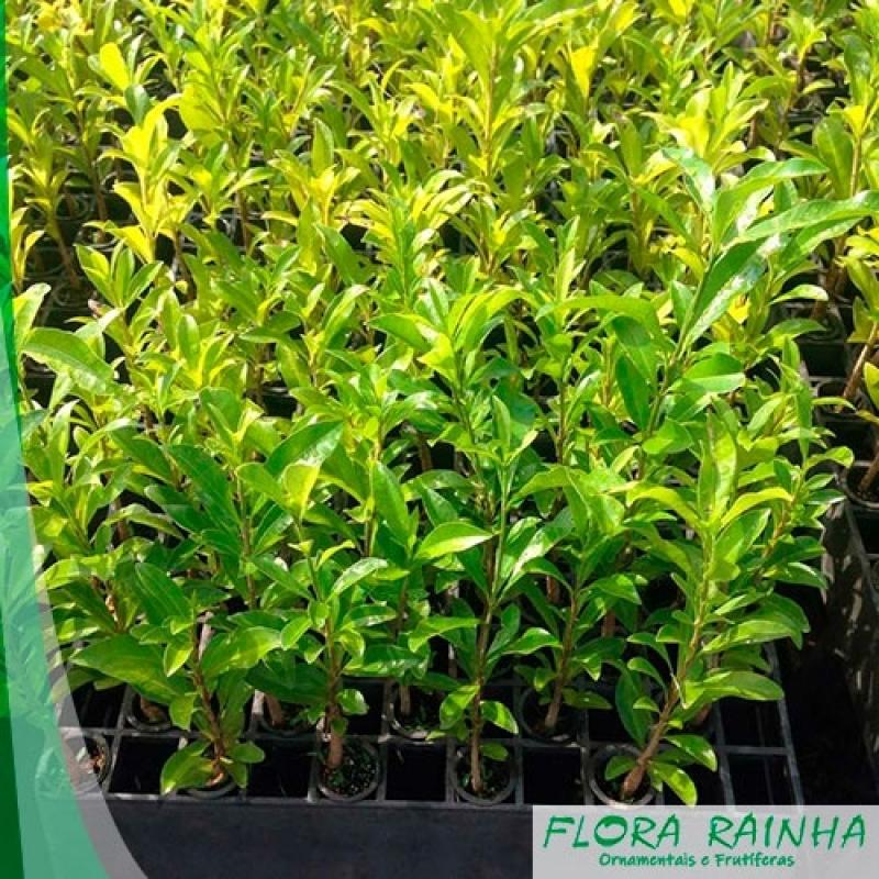 Qual o Melhor Fertilizante para árvore Centro de São Paulo - Adubo para Jabuticaba