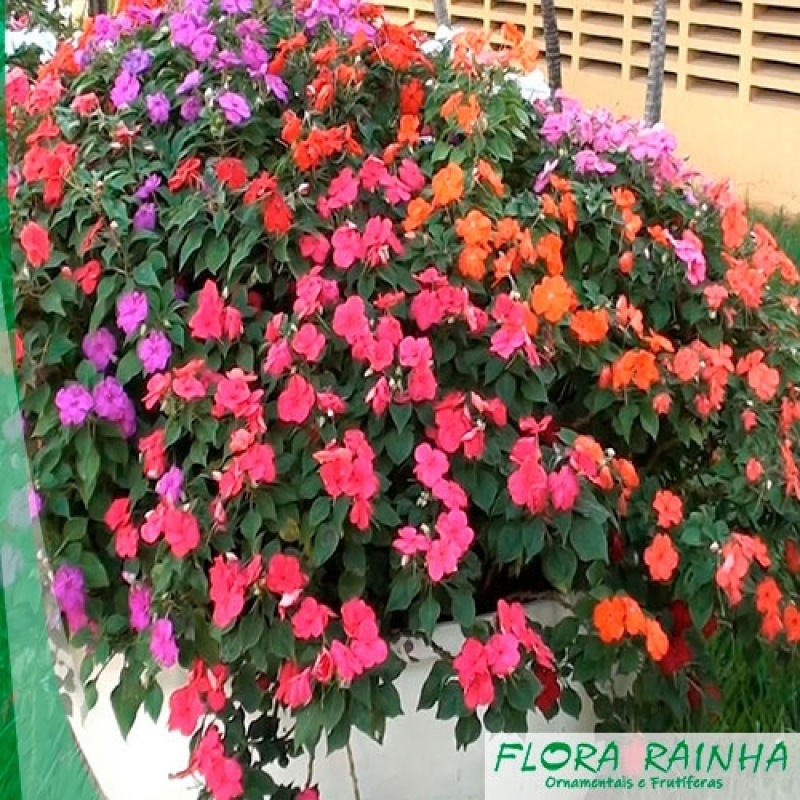 Qual o Valor da Muda de Impatiens Salesópolis - Muda de Mini Rosa
