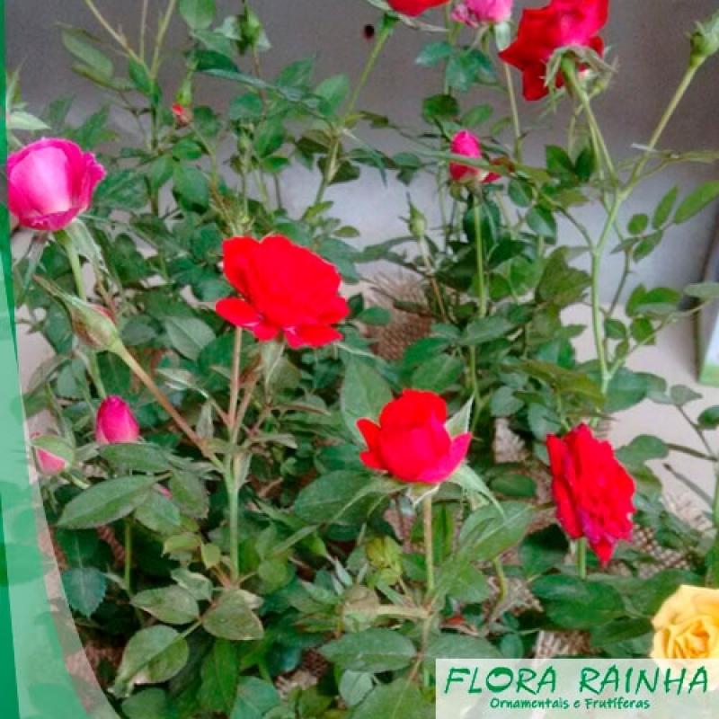 Qual o Valor da Muda de Mini Rosa José Bonifácio - Muda de Ixora