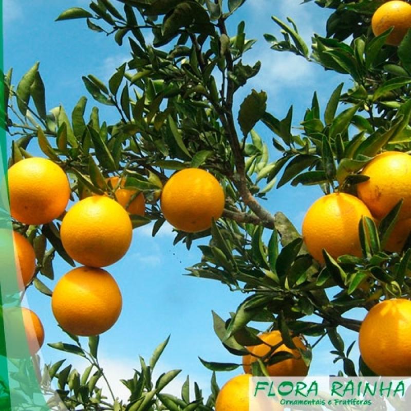 Qual o Valor de Muda de Laranja Bahia Cesário Lange - Muda de Limão Siciliano