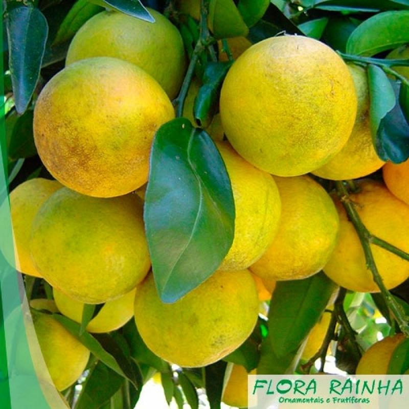 Qual o Valor de Muda de Laranja Champanhe Araçatuba - Muda de Limão Siciliano