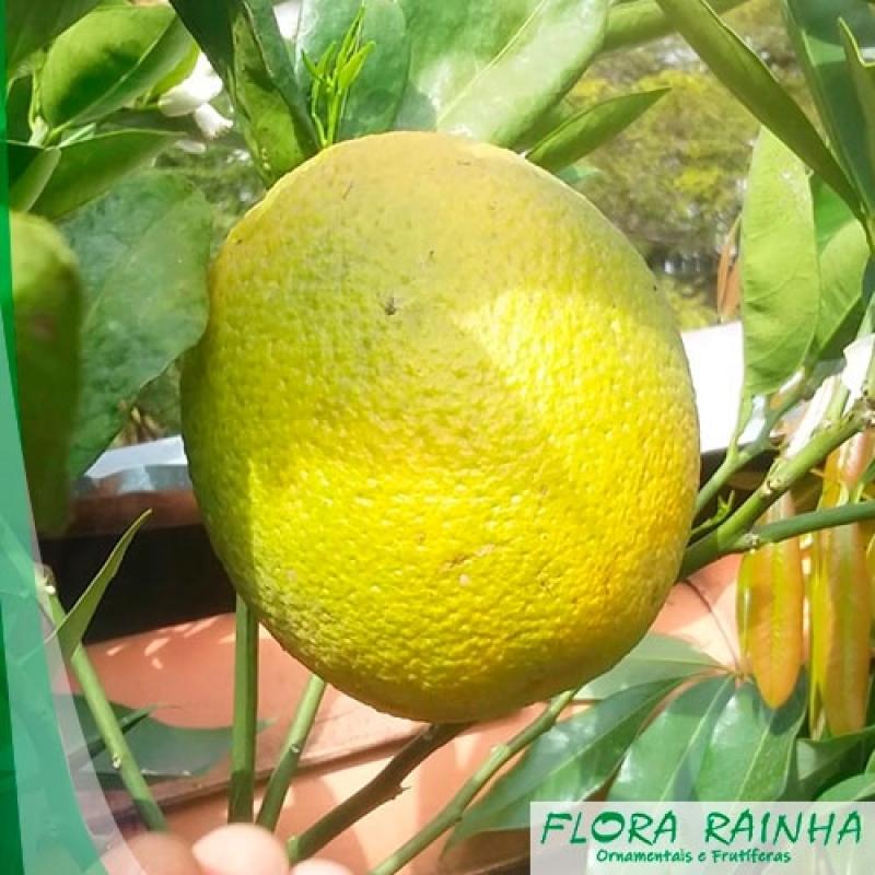 Qual o Valor de Muda de Laranja Seleta Jardim Santa Helena - Muda de Limão Taiti