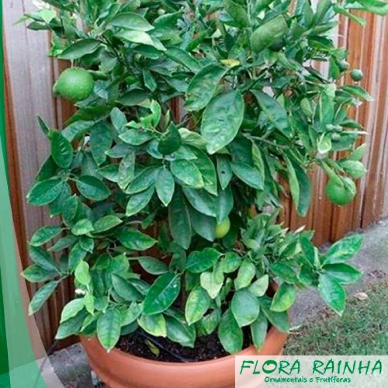 Qual o Valor de Muda de Limão Galego Vila Endres - Muda de Limão Taiti