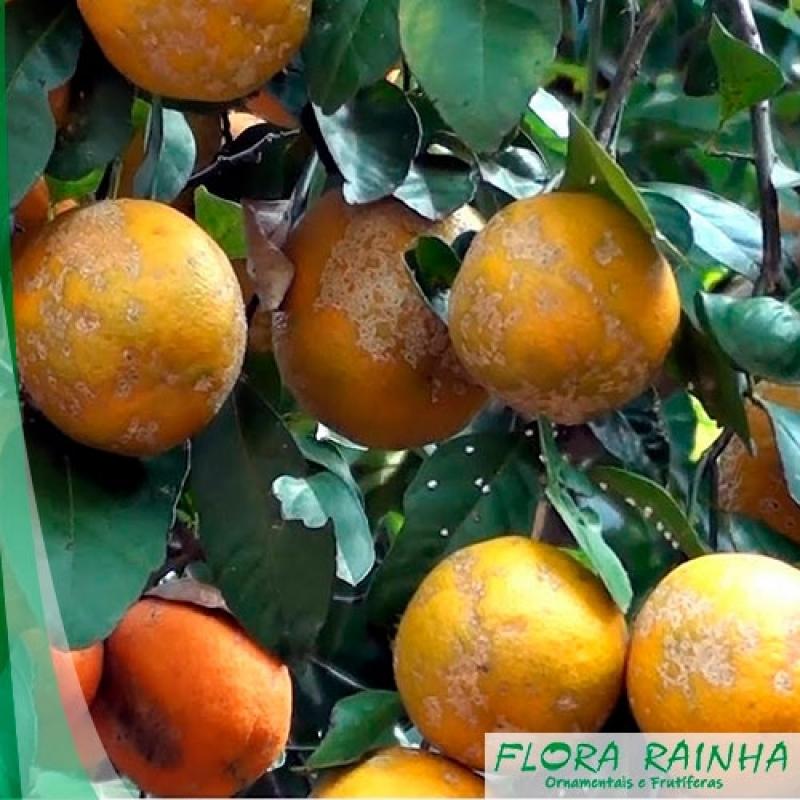 Qual o Valor de Muda de Limão Rosa Parque Residencial da Lapa - Muda de Laranja Lima