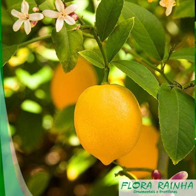Qual o Valor de Muda de Limão Siciliano Iguape - Muda de Laranja Lima