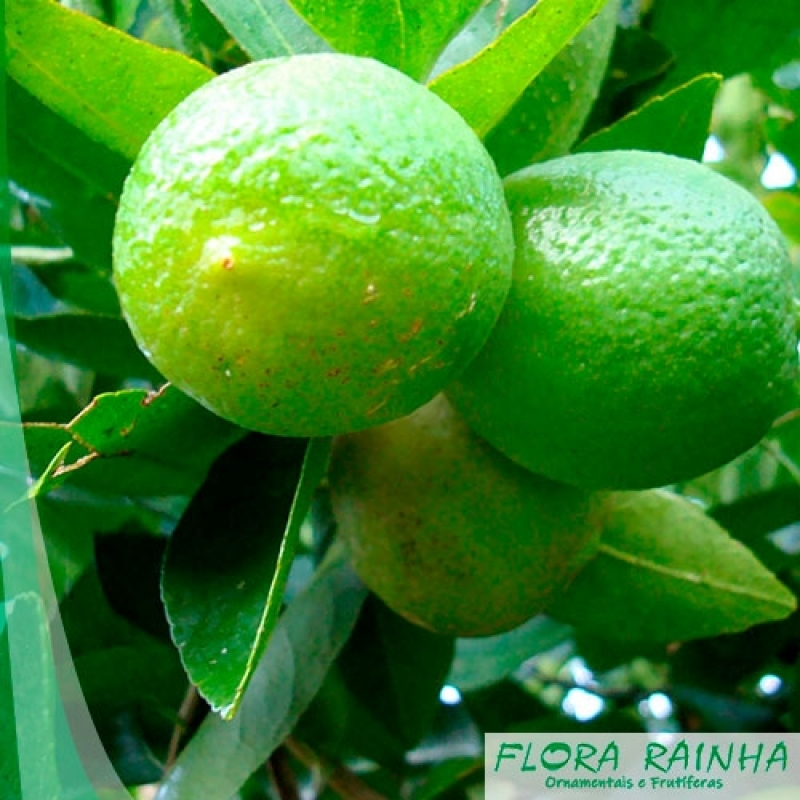 Qual o Valor de Muda de Limão Taiti Jandira - Muda de Limão Taiti