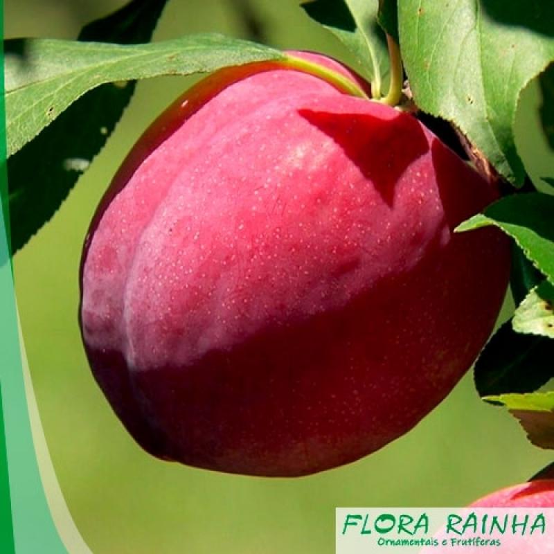 Quanto Custa a Muda Frutífera de Ameixa Porto Feliz - Muda Frutífera de Jabuticaba Sabará