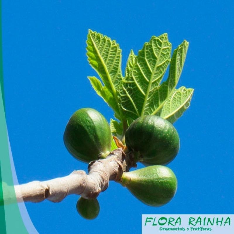 Quanto Custa a Muda Frutífera de Figo Nova Piraju - Muda de Jabuticaba