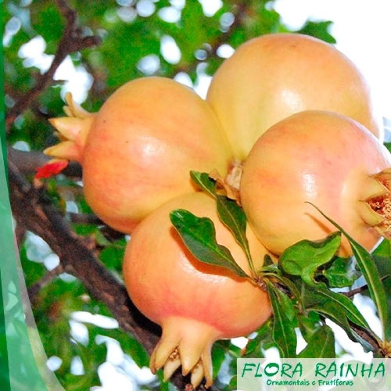 Quanto Custa a Muda Frutífera de Romã Vila Buarque - Muda de Jabuticaba