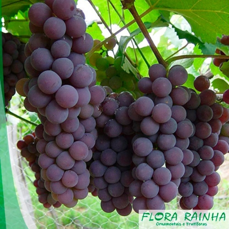 Quanto Custa a Muda Frutífera de Uva Jardim Santa Terezinha - Muda de Jabuticaba