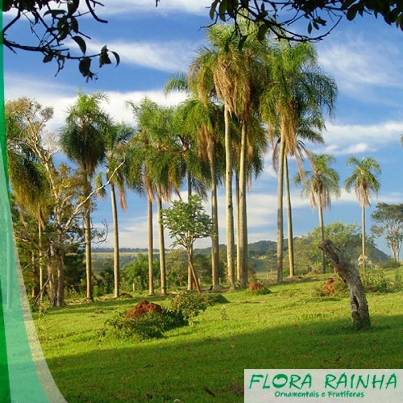 Quanto Custa Muda de Palmeira Jerivá Parque Santa Madalena - Muda de Palmeira Washingtônia