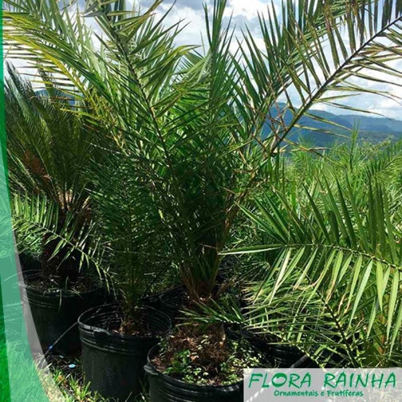 Quanto Custa Muda de Palmeira Tamareira Pacaembu - Muda de Palmeira Tamareira