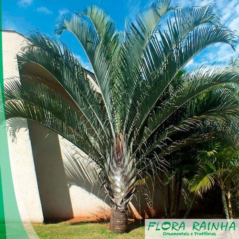 Quanto Custa Muda de Palmeira Triangular Vila Ré - Muda de Palmeira Jussara