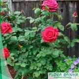 comprar muda de rosa Barueri