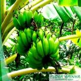 comprar mudas de banana Butantã