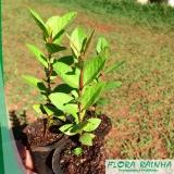 muda árvore frutífera Instituto da Previdência