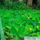 muda de grama amendoim Araçatuba