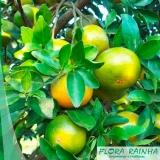 muda de laranja lima Porto Feliz