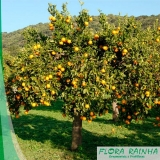 muda de laranja pera Porto Feliz