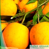 muda de laranja seleta Piqueri