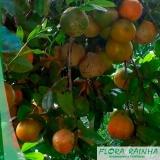 muda de limão rosa Jardim Monte Verde